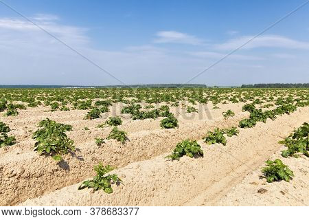 An Agricultural Field Where Potatoes Are Grown, A Furrow With Green Fresh Sprouts On Fertile Soils