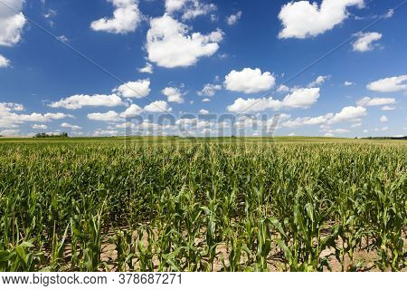Sweet Green Unripe Corn In The Field, The Summer Season, A Fertile Crop Of Cereals And Grains To Fee