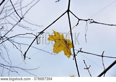 Maple Trees During The Changes In The Autumn Season, Beautiful Nature And The Specifics Of The Seaso