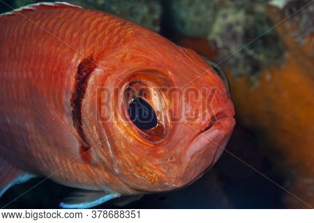 Myripristis Jacobus ,blackbar Soldierfish Is A Soldierfish From The Western Atlantic.