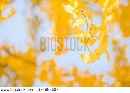 Autumn Bright Yellow Ginkgo Leaves In Front Of Blur Yellow Leaves