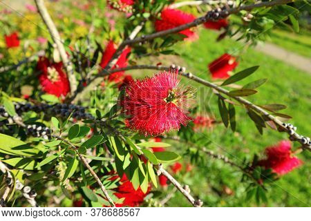 Blooming Bottlebrush Plant Callistemon Citrinus. Red Fluffy Flower Heads On The Evergreen Shrub.