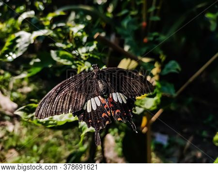 Pachliopta Aristolochiae, The Common Rose, Is A Swallowtail Butterfly Belonging To The Genus Pachlio