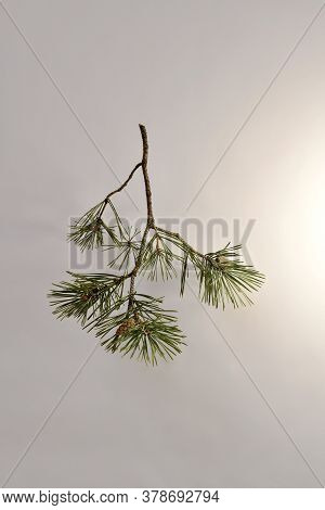 Branched Pine Branch With Sparse Needles And Cones.