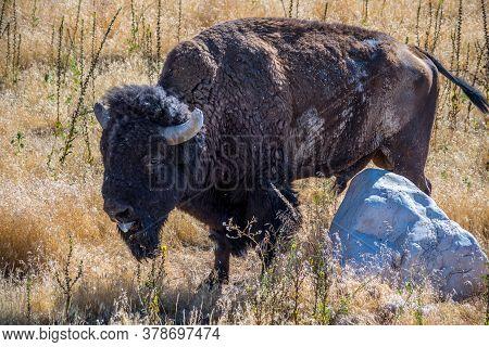 American Bison In The Field Of Antelope Island State Park, Utah