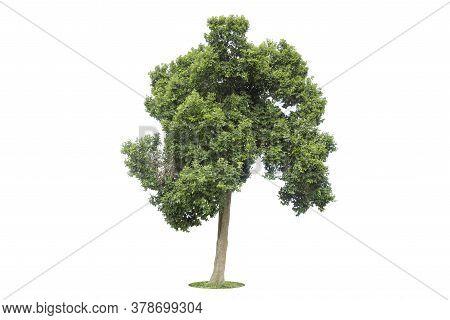 Tree, Isolated Tree On White Background Thailand.