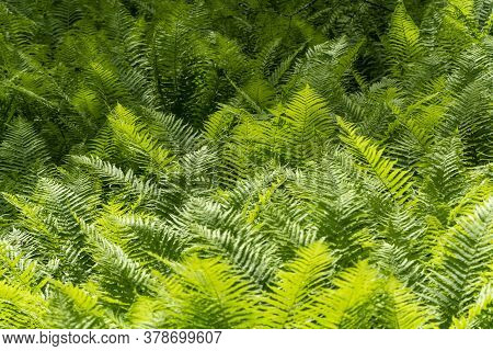 Dense Thickets Of Fern In The Forest. Beautiful Forest Landscape Made Of Bright Green Fern.