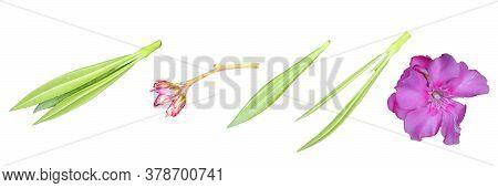 Part Of Oleander Flower (pink Oleander Flower, Growing Oleander Flowers, Single Green Oleander Flowe