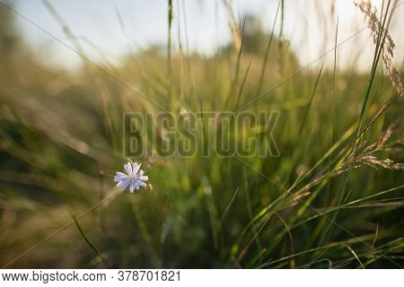 Flower With Light Blue Petals During Summer In Evening Sun Light. Late Purple Aster Closeup