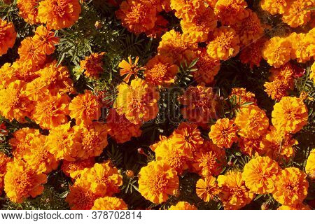 Marigolds Shades Of Yellow And Orange, Floral Background . Tagetes Erecta, Mexican Marigold, Aztec M