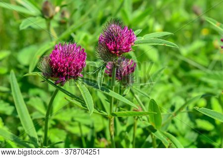 Bright Purple Trifolium Alpestre Flower Heads On A Green Blurred Background. Young Juicy Blooming Cl