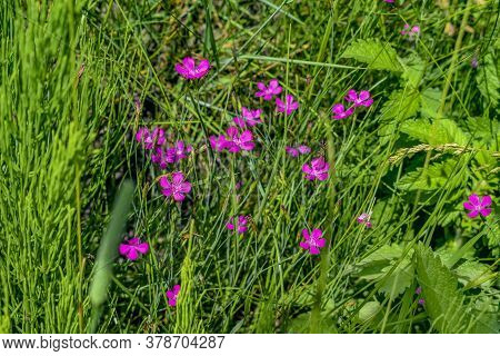 A Lot Of Small Delicate Pink Five-petalled Flower Of Wild Carnation Among The Grass In The Meadow. B