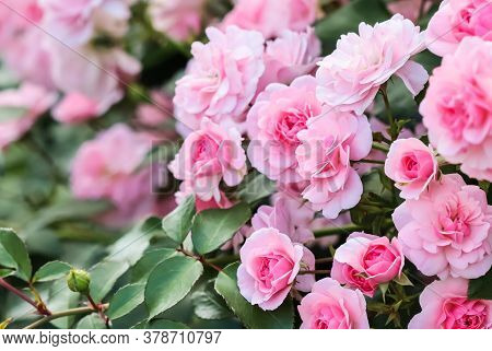Beautiful Pink Roses Bonica In The Garden. Perfect For Background Of Greeting Cards For Birthday, Va