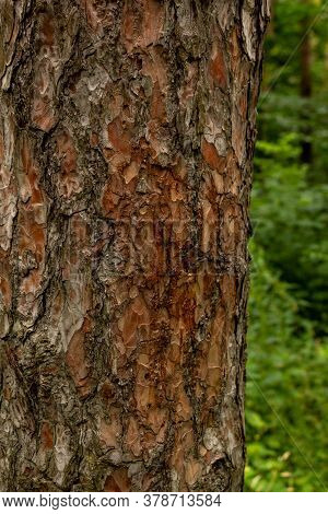Vertical Photo Of A Tree Trunk Against A Forest Background. The Relief Texture Of The Brown Bark Of
