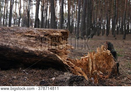 Fallen Pine Tree With Splintered Trunk In Coniferous Forest After Strong Hurricane Wind. Winter Seas