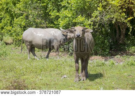 Buffalo,  Water Buffalo Stands Looking At Something In The  Meadow Thailand.