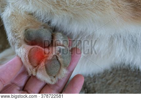 Dog Injured Foot, Look At The Dog's Foot Because Of Injury, Maybe Caused By Stepping On Sharp Object