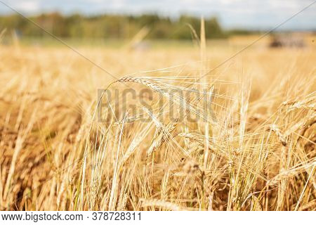 Barley Field. Beards Of Golden Barley Close Up. Beautiful Rural Landscape. Background Of Ripening Ea