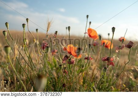 Field Of Poppies In The Wind. Flowers Red Poppies Blossom On Wild Field. Ripe Poppies. Natural Drugs