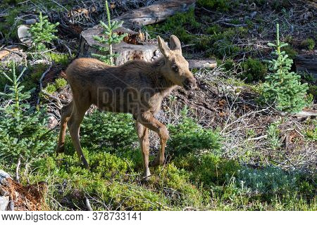 Colorado Moose Living In The Wild. Moose Calf In A Forest
