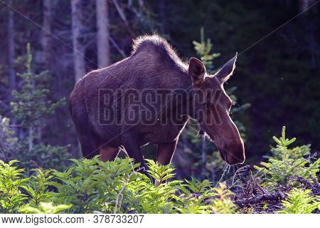 Cow Moose At Sunrise. Colorado Moose Living In The Wild