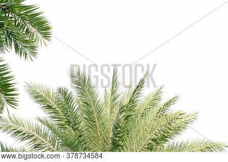 Cycad Palm Leaves On White Isolated Background For Green Foliage Backdrop