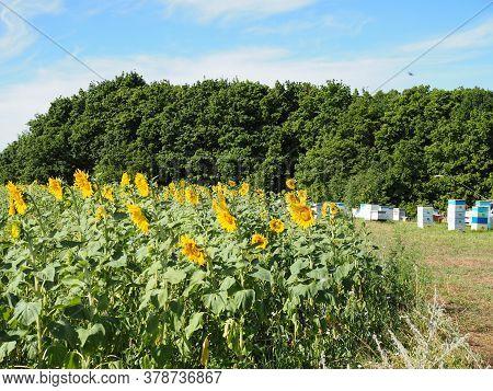 Beehives In Corner Of Sunflower Field In Summer