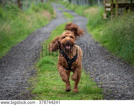 Cockapoo Running On A Country Track