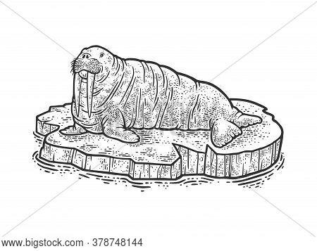 Walrus On Ice Floe Sketch Engraving Vector Illustration. T-shirt Apparel Print Design. Scratch Board
