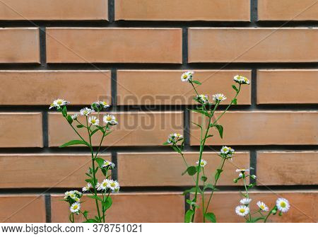 Field Chamomile Grass On A Background Of Brickwork, Close-up