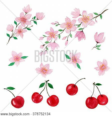 Cherry Blossom And Cherry Fruit Set, Hand Painted Watercolor Illustration With Cherries And Sakura B
