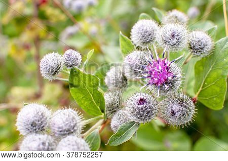 Beautiful Flower Of Purple Thistle. Pink Flowers Of Burdock Burdock. Burdock Thorny Flower Close-up.