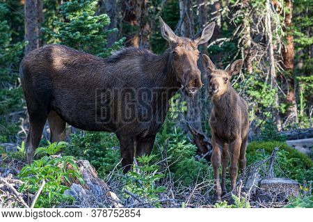Colorado Moose Living In The Wild. Cow And Calf