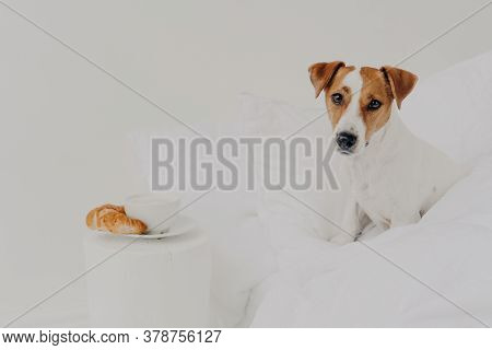 Good Morning, Breakfast, Animals, Awakening Concept. Cute Pedigree Jack Russel Terrier Dog Stays In