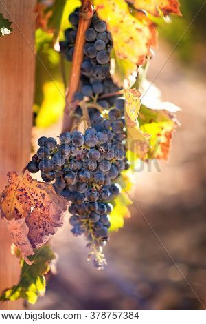 Vertical Picture Of Ripe Cabernet Grapes On Vine Growing In Vineyard At Sunset Time, Selective Focus