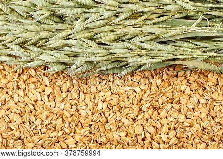 Oat Plant And Oatmeal Flakes Background. Close Up Of Yellow Oat Flakes And Green Oat Ears.