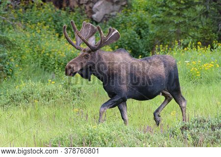 Colorado Moose Living In The Wild. Bull Moose On The Move.