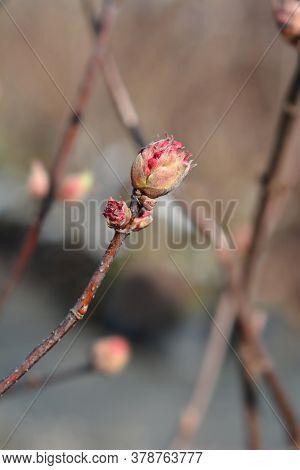 Arrowwood Dawn - Latin Name - Viburnum * Bodnantense Dawn