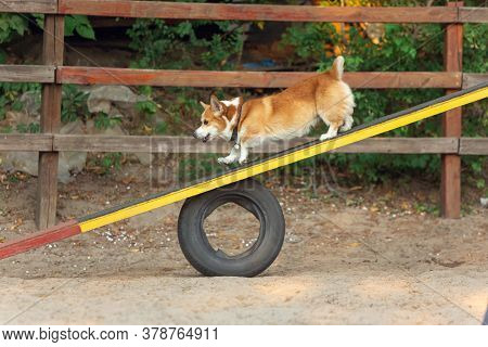 Little Cute Corgi Dog Performing During The Show In Competition. Pet Sport, Motion, Action, Showing,