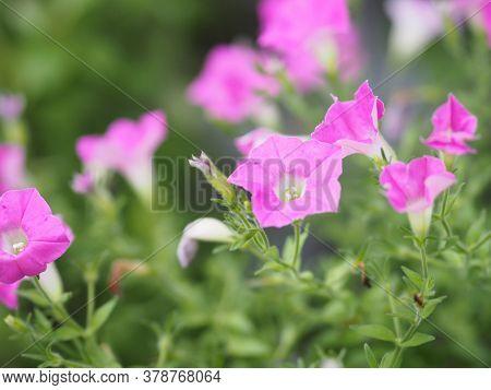 Wave Pink Cascade Color, Family Name Solanaceae, Scientific Name Petunia Hybrid Vilm, Large Petals S