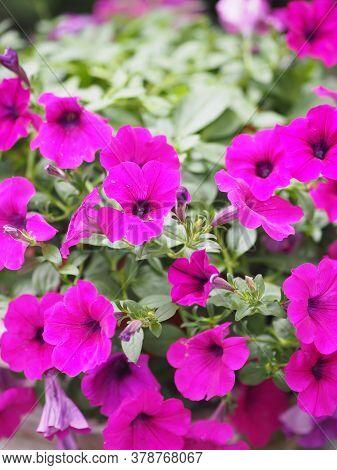 Wave Dark Pink Cascade Color, Family Name Solanaceae, Scientific Name Petunia Hybrid Vilm, Large Pet