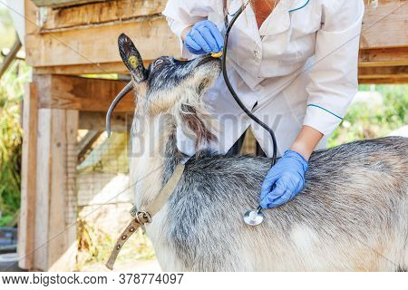 Young Veterinarian Woman With Stethoscope Holding And Examining Goat On Ranch Background. Young Goat