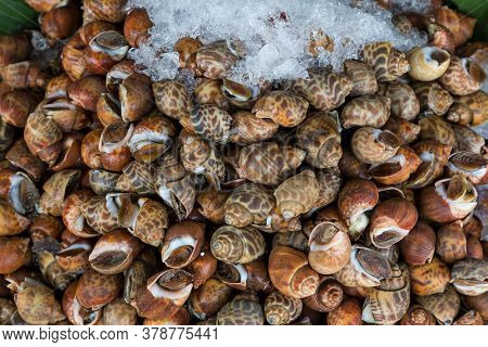 Areola Babylon Or Spotted Babylon In The Seafood Market. Fresh Spotted Babylon On A Tray And Contain