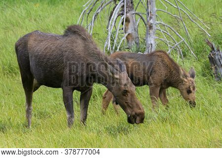Colorado Moose Living In The Wild. Cow And Calf Grazing In A Meadow.