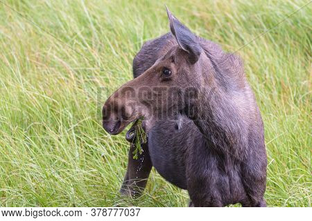 Colorado Moose Living In The Wild. Cow Moose Eating Grass