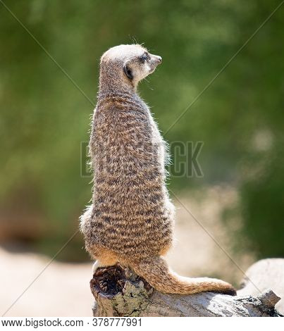 Rear View Of A Meerkat On Alert While Resting On A Wooden Tree Trunk And A Bright Green Background.
