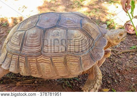 African Sulcata Tortoise Natural Habitat,close Up African Spurred Tortoise Resting