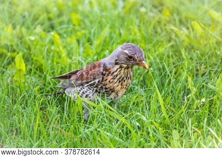 Fieldfare, Turdus Pilaris, On A Green Lawn With A Blurred Background. A Bird With An Open Beak.