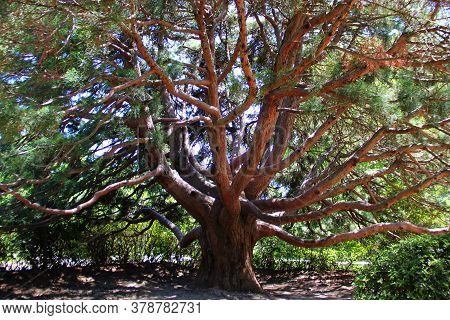 A Powerful Tree With Many Branches Sequoia Dendron More Than A Hundred Years Old, Brown Trunk, Green