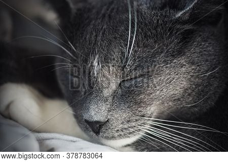 A Close-up Portrait Of A Cute, Lazy, Grey House Cat, Who Is Fast Asleep.